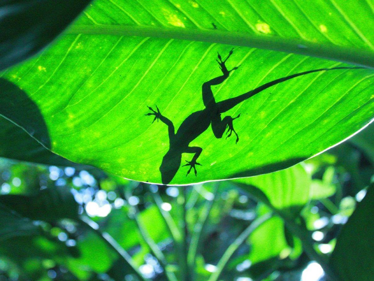 Um lagarto apanha banhos de sol na superfície de uma folha na Floresta Nacional de El ...