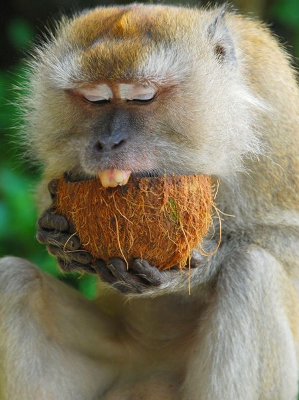 Um macaco da floresta tropical da Malásia abocanha um coco. A Malásia cobre-se de extensas florestas. ...