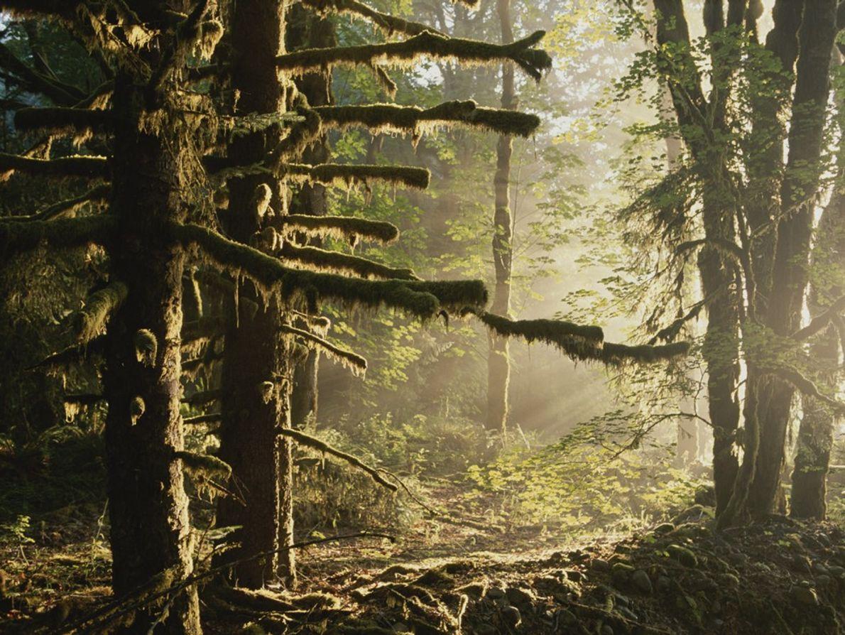 Um manto de musgo cobre um pequeno bosque de píceas-de-Sitka no vale do rio Hoh, povoado ...