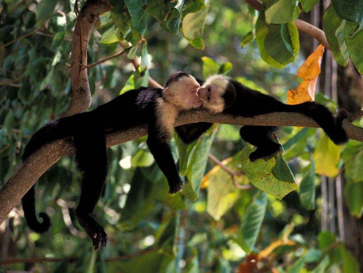 Duas crias de macaco-prego-de-cara-branca brincam na floresta tropical da Costa Rica. Ao contrário destes rostos familiares, ...