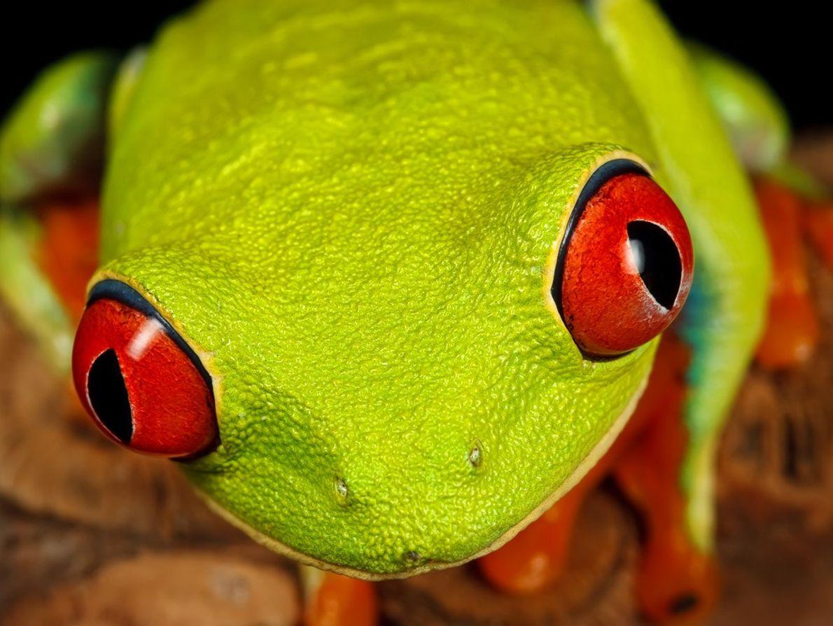 A rã-de-olhos-vermelhos é um ícone na floresta tropical da América Central. Quando dorme, o tom verde ...