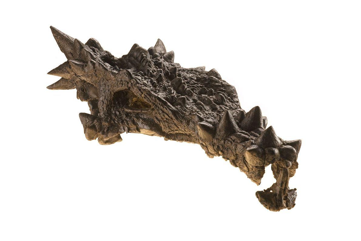 Este dinossauro, distintamente ornamentado e apresentado na capa da revista National Geographic em dezembro de 2007, ...