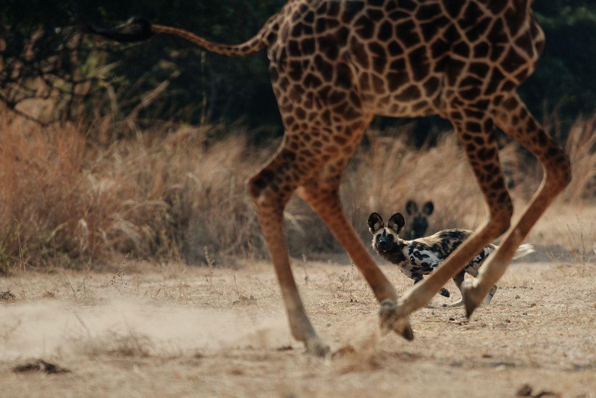 Cães selvagens africanos e uma girafa