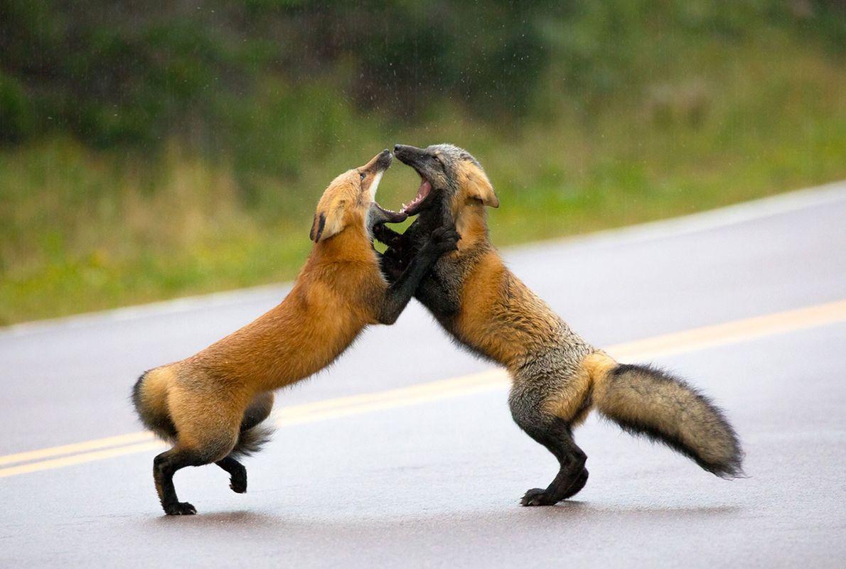 Duas raposas-vermelhas competem entre si.