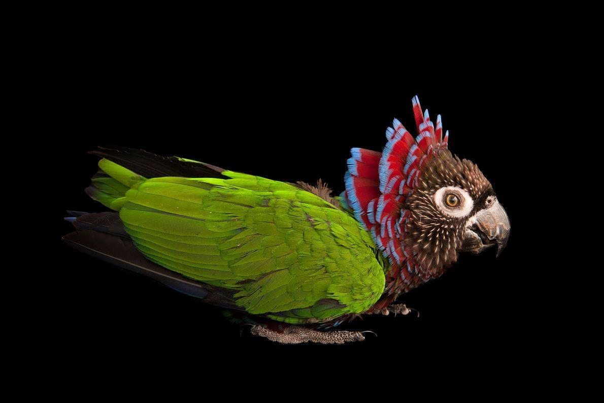 Papagaio-cabeça-de-falcão-do-sul
