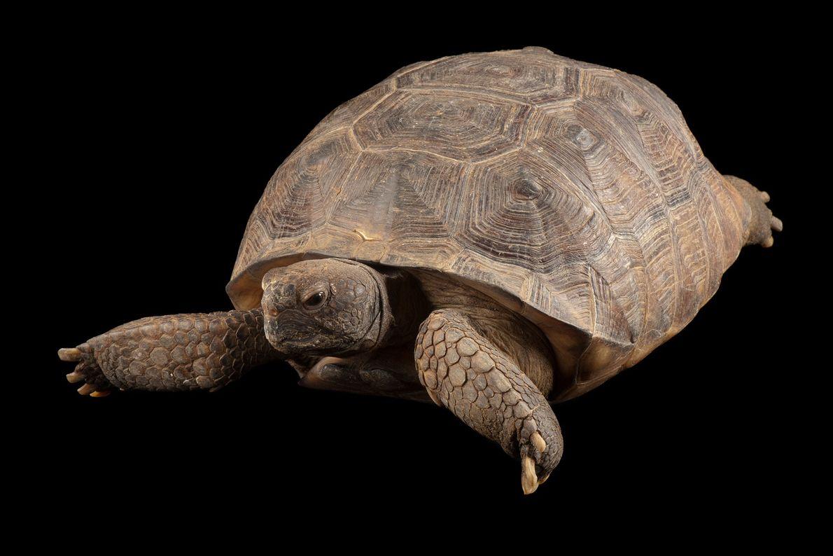 Tartaruga-da espécie Gopherus polyphemus