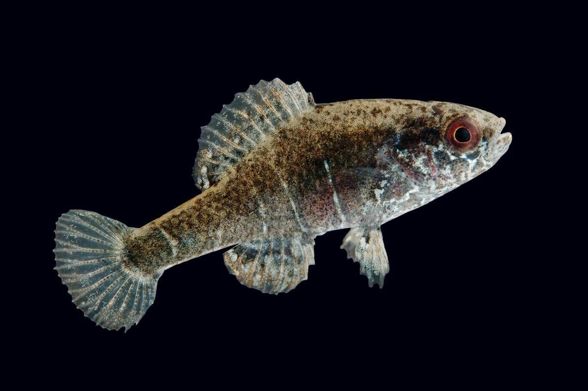 Um peixe da espécie Elassoma alabamae, fotografado no Conservation Fisheries em Knoxville, Tennessee.