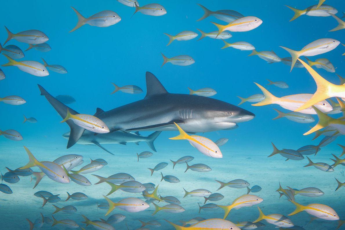 Tubarões-de-pontas-negras-do-recife e pargos-de-cauda-amarela