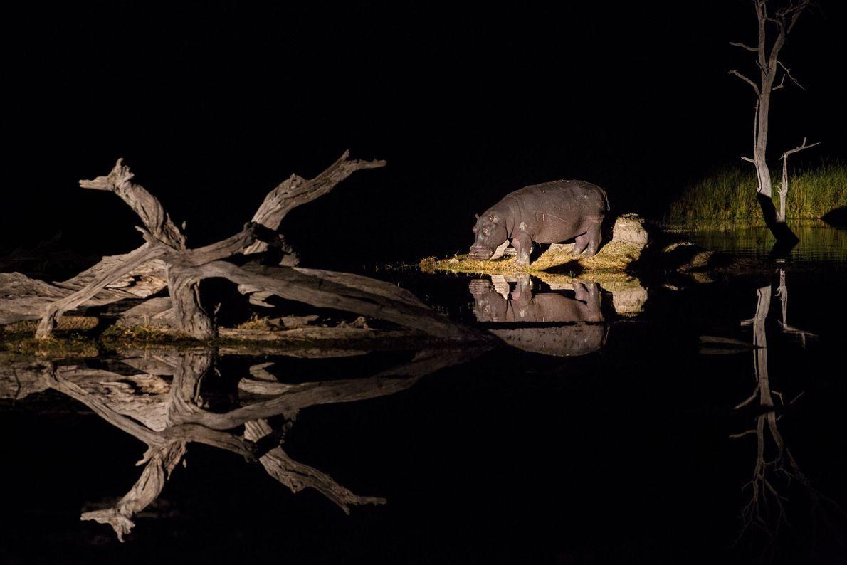 Hipopótamos no Okavango