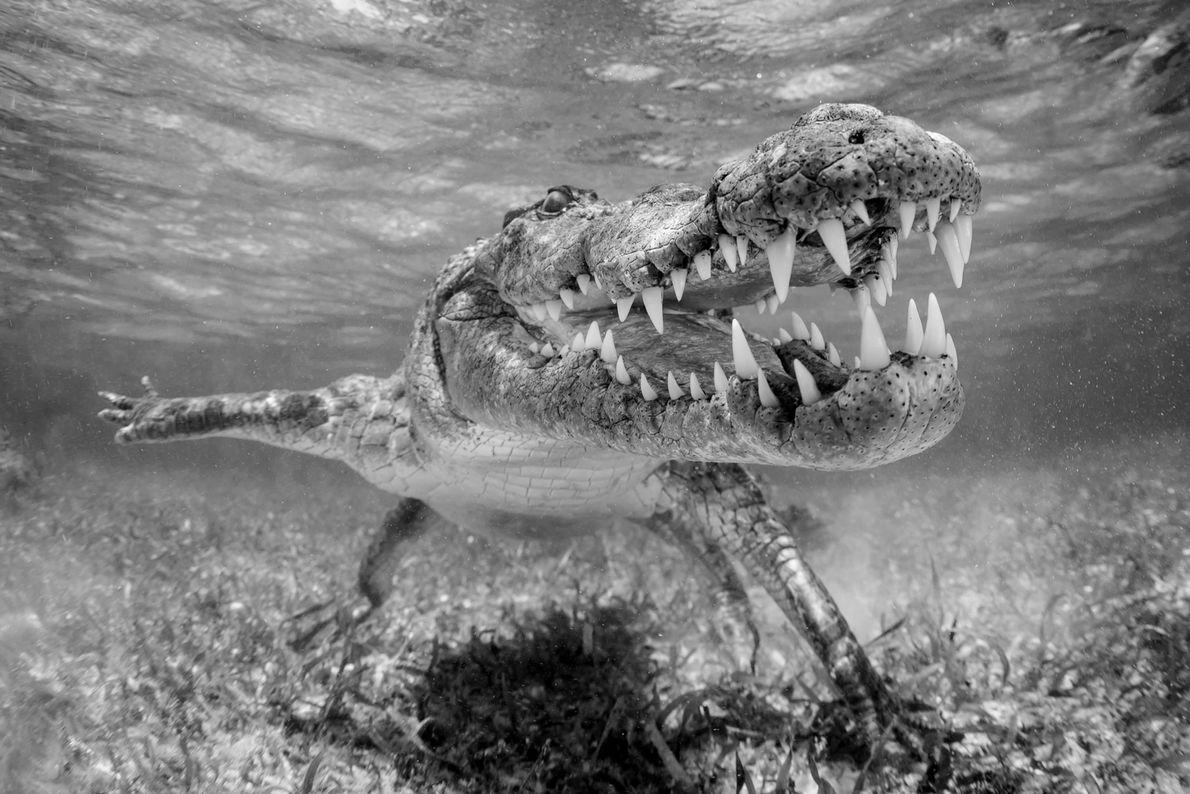Crocodilo-americano no México