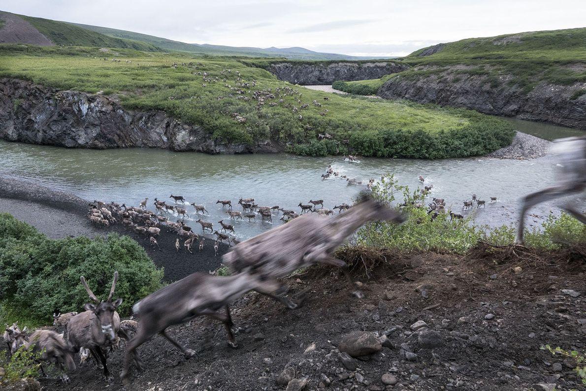 Uma manada de renas atravessa o rio Blow