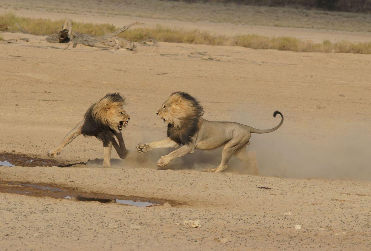 Leões defrontam-se no Botsuana.