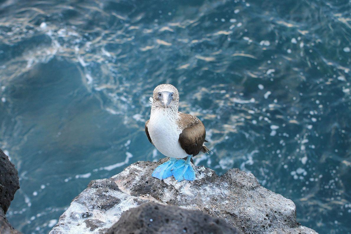Patola-de-pés-azuis. Ilhas Galápagos, Equador.