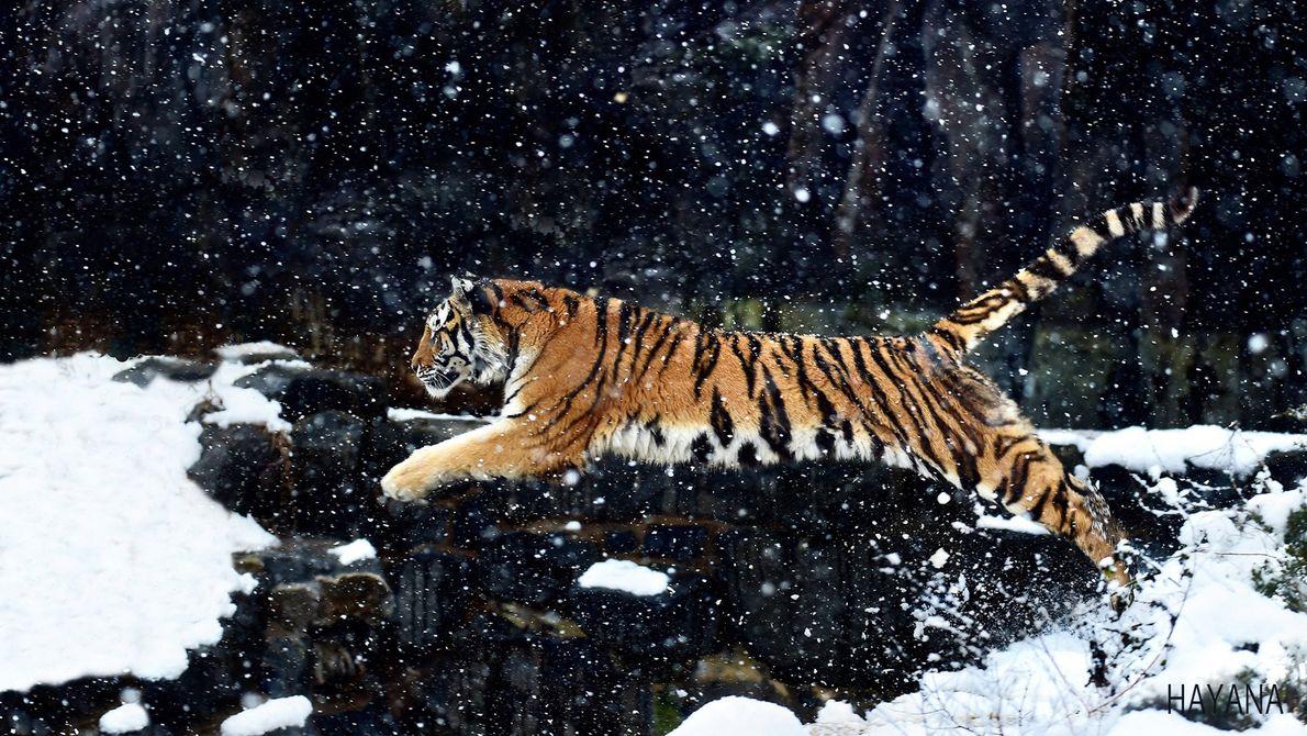 tigre salta numa paisagem coberta de neve