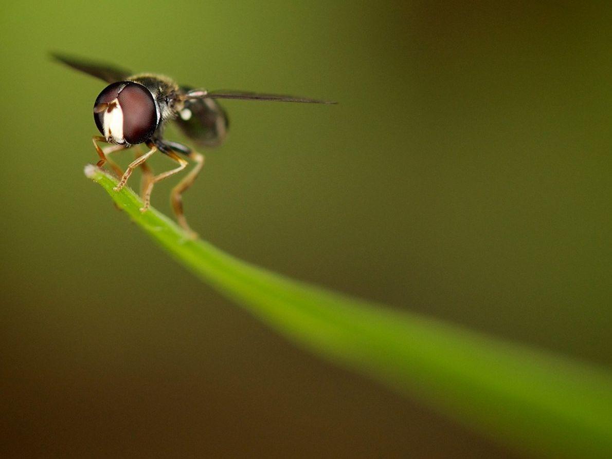 Insecto Voador, Singapura