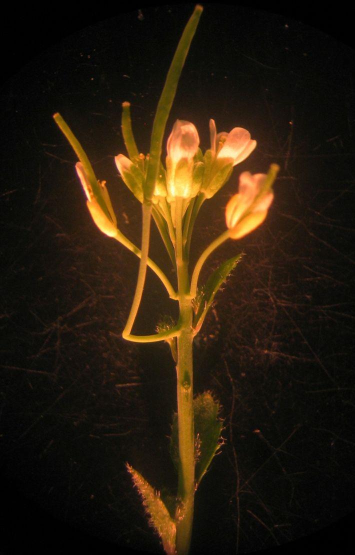 Planta cantilever