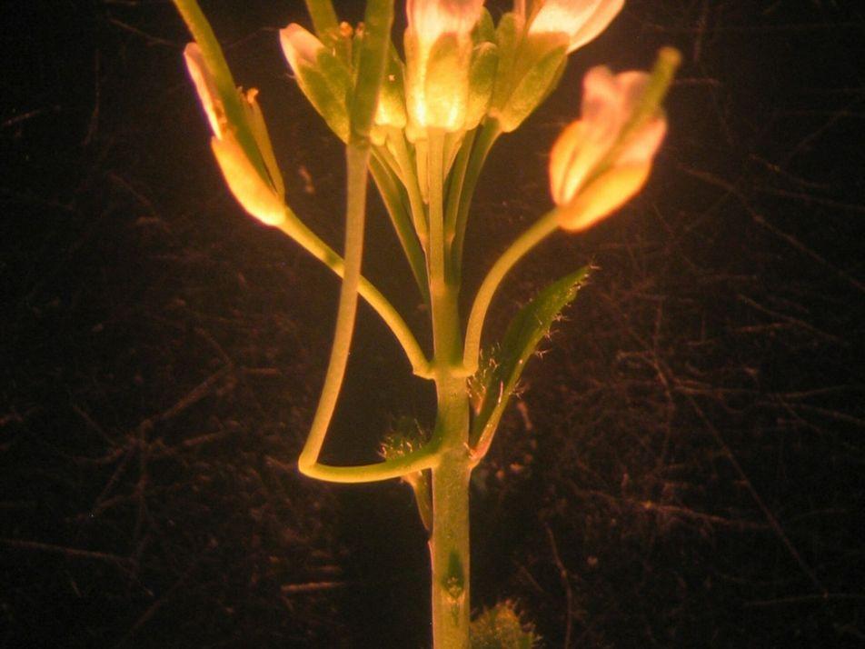 Novo órgão descoberto na planta mais estudada do mundo