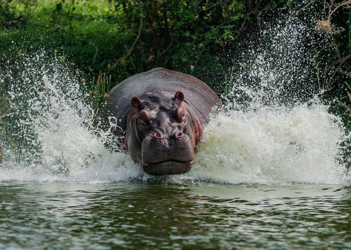 Hipopótamo fêmea a proteger a sua cria