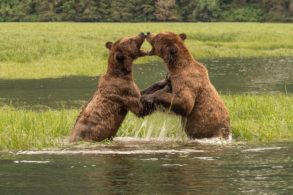 Ursos lutam no Canadá.