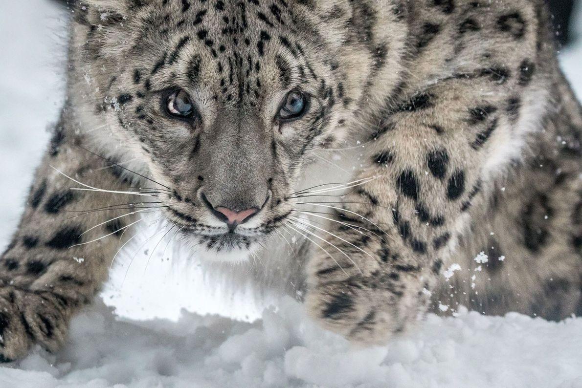 Leopardo-das-neves.