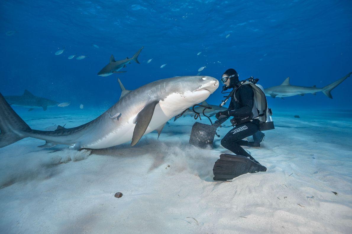 Um tubarão-tigre enfrenta um operador de mergulho nas Bahamas.