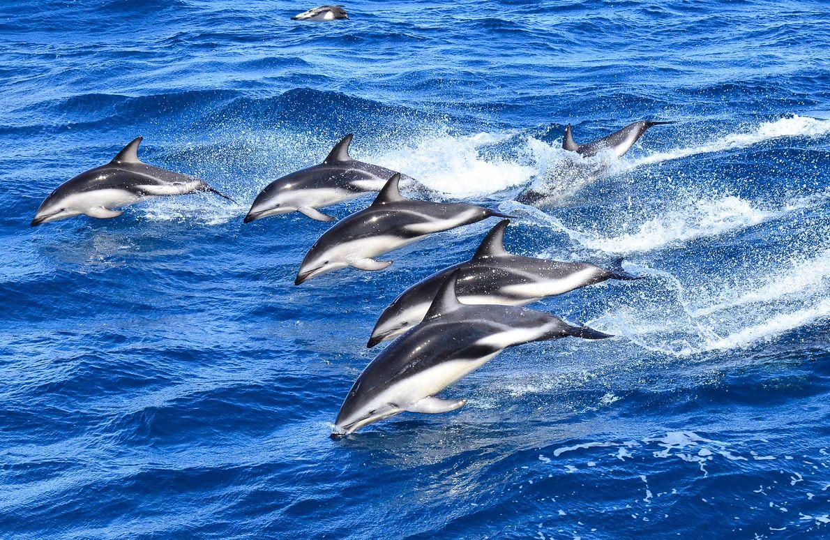 golfinho-riscado desloca-se em grandes grupos, dando saltos na água