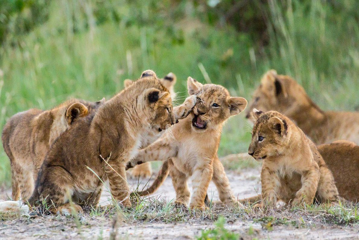 Crias de leão treinam as lutas no Quénia.