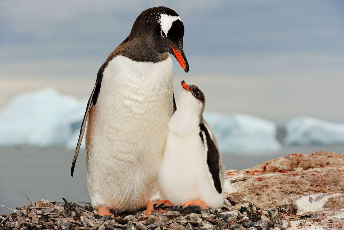 Pinguim-gentoo com cria
