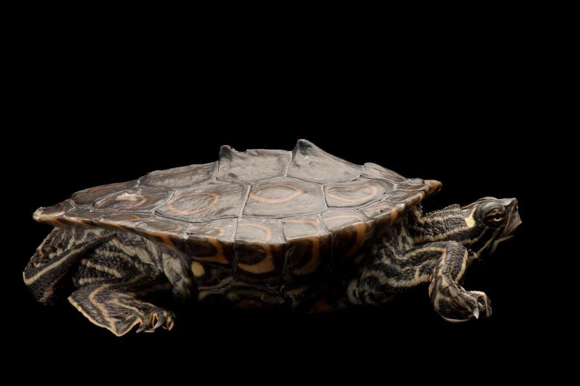 Uma tartaruga da espécie Graptemys oculifera, espécie ameaçada a nível federal.