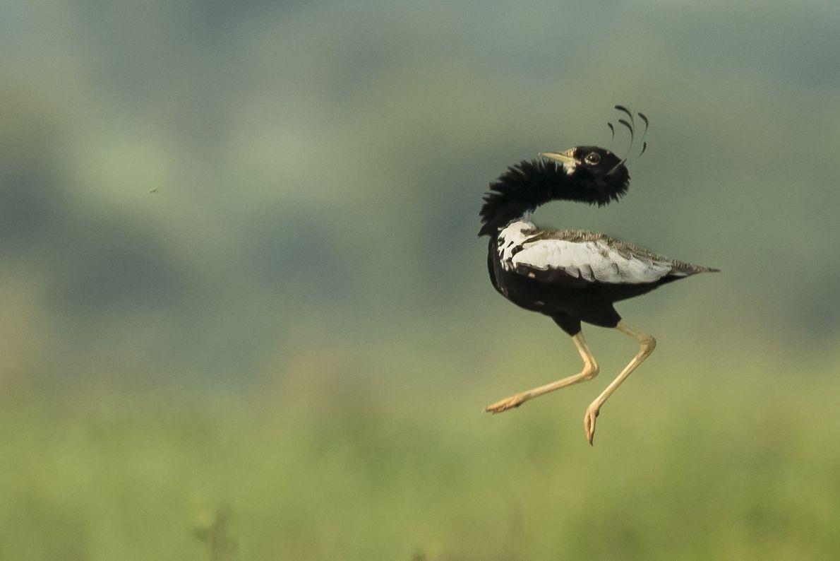 sisão-de-penacho lança-se no ar em Sokhaliya, na Índia