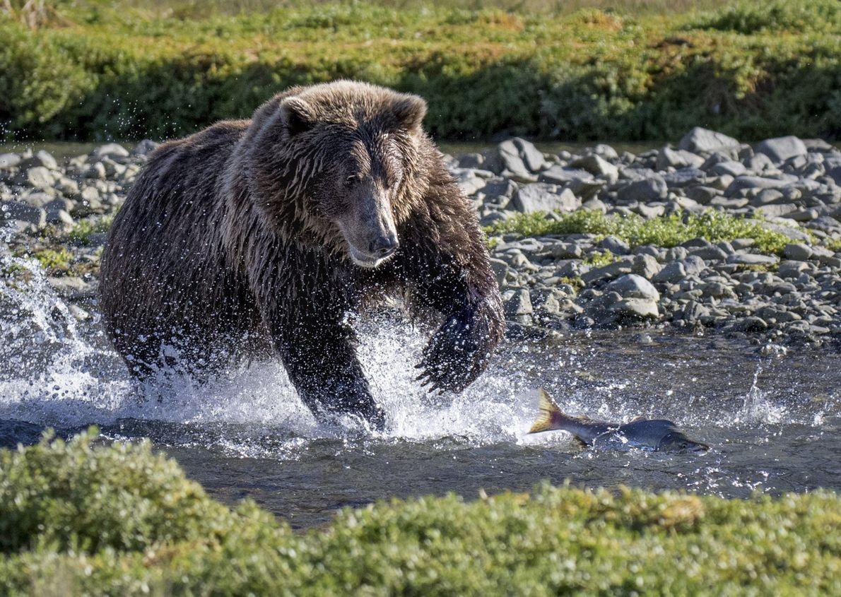 Um urso-pardo persegue um salmão.