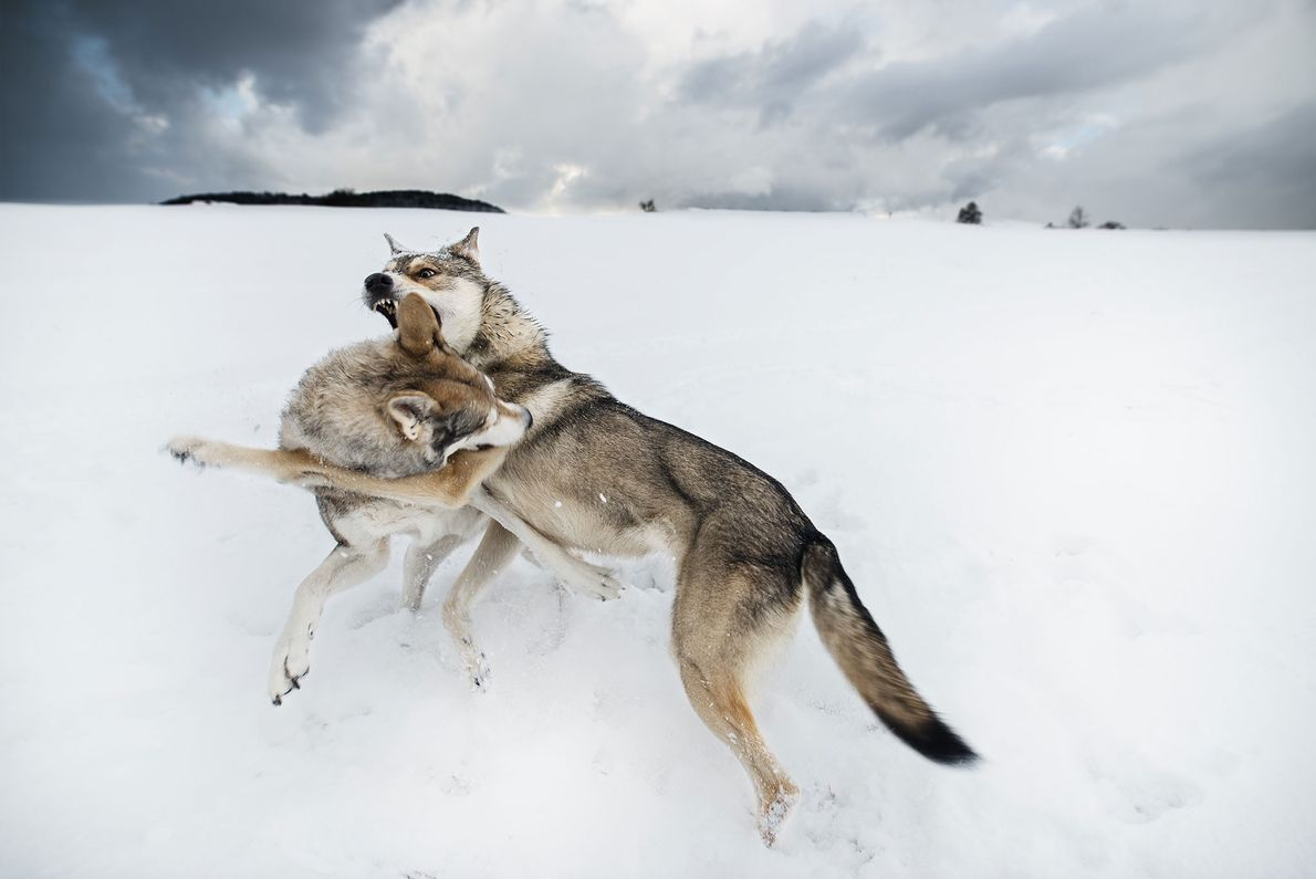 Lobos confrontam-se na Suíça.