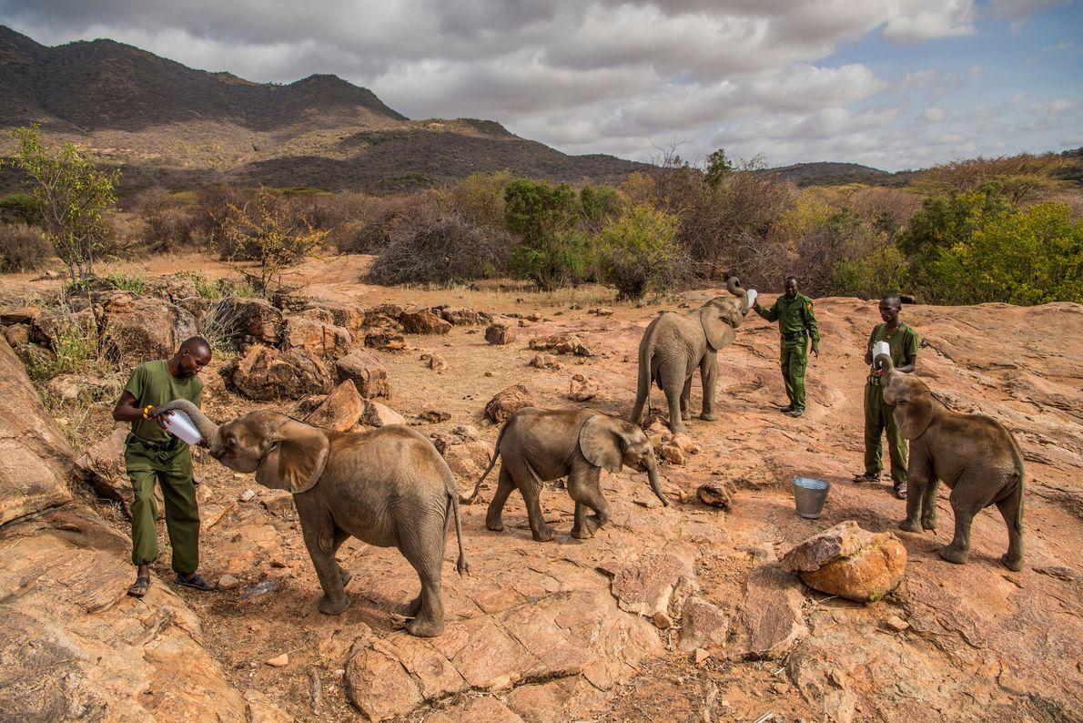 Órfãos esfomeados do Santuário de Elefantes Reteti, no Quénia