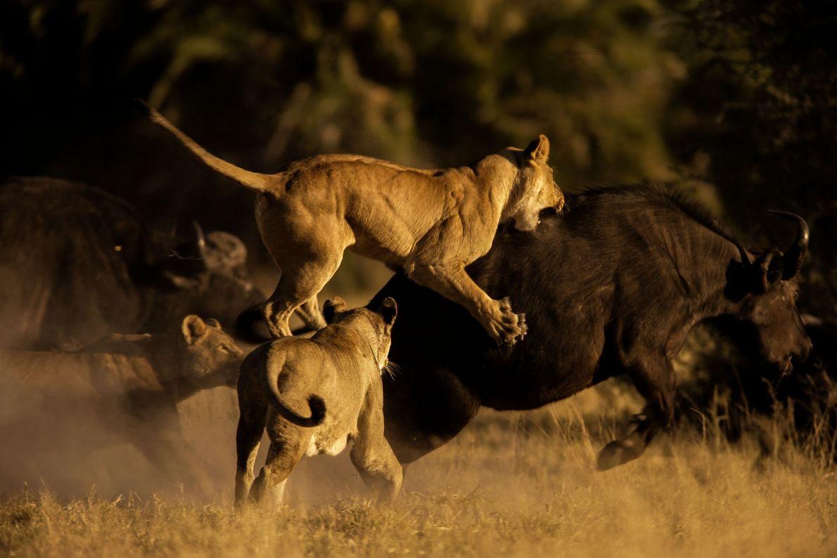 Leoas atacam um búfalo no Delta do Okavango, no Botsuana.