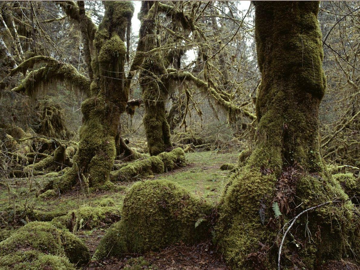 O vale do rio Hoh, uma floresta tropical situada numa zona temperada, faz parte do Parque ...