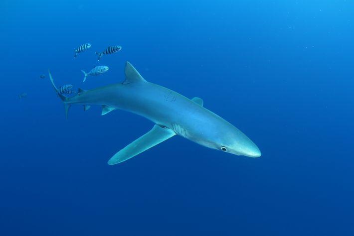 Imagem de um tubarão azul (Prionace glauca)