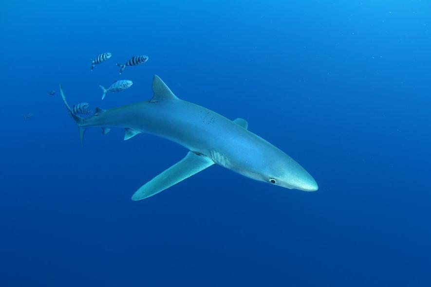 Tubarões: Ontem, Hoje e (Talvez) Amanhã.