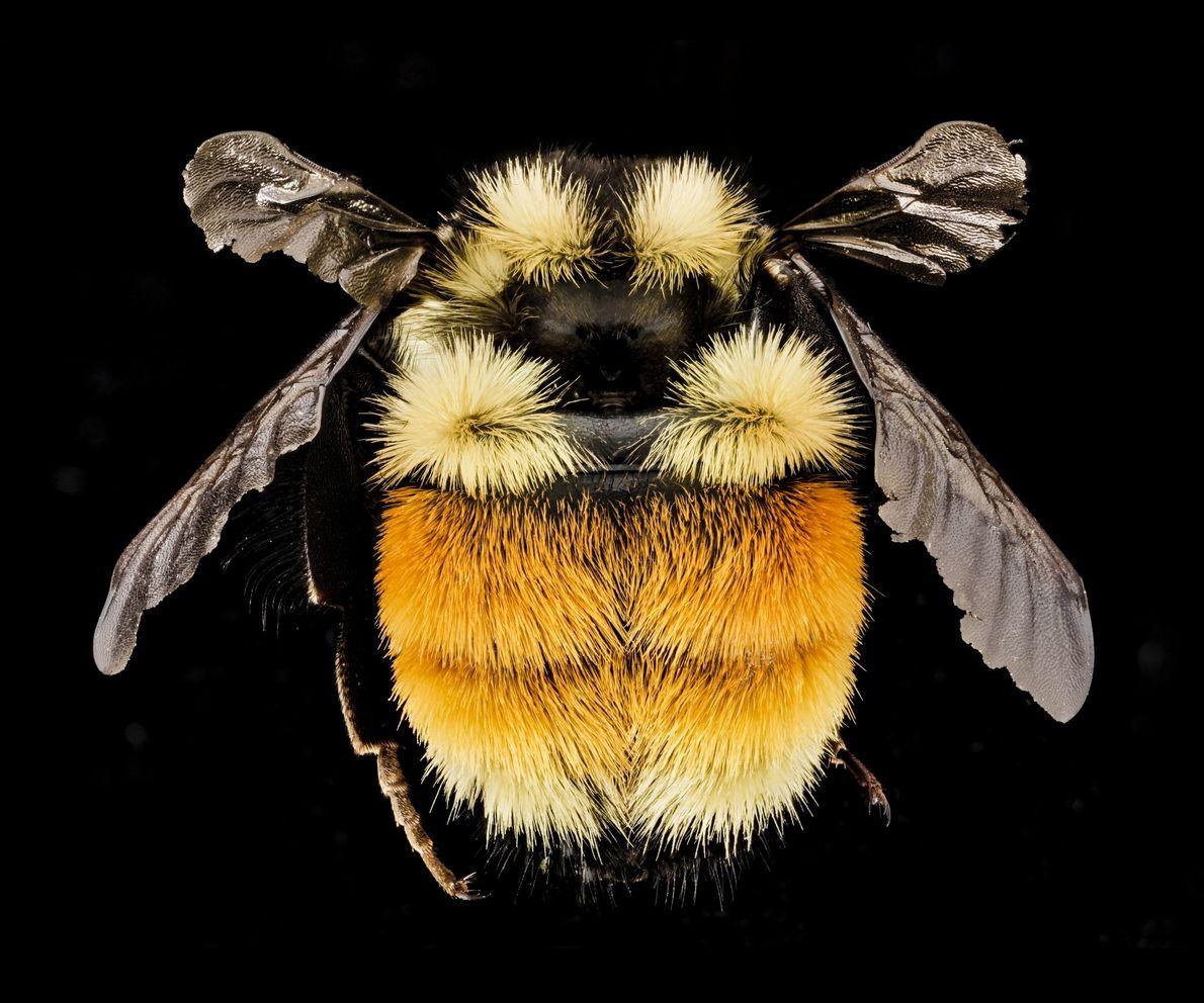 Este abelhão tricolor, Bombus ternarius, é oriundo das montanhas Adirondacks, no estado de Nova Iorque.