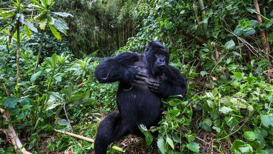 Por que razão os gorilas macho batem no peito? Novo estudo revela evidências intrigantes.