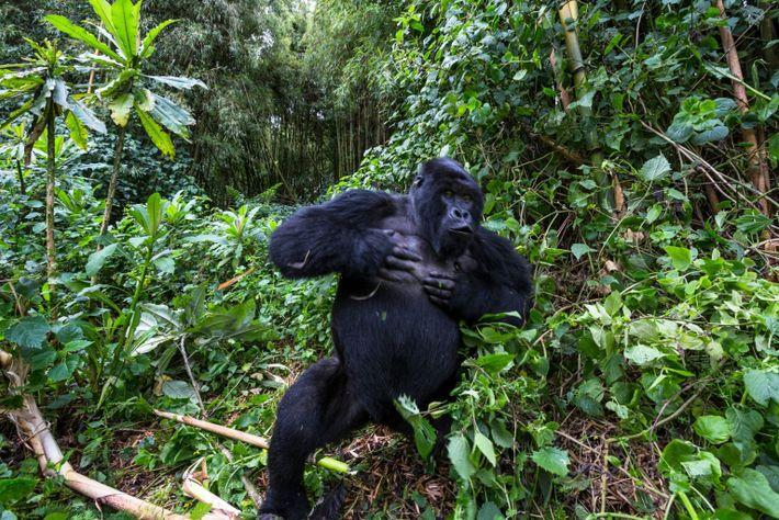 gorila-das-montanhas macho bate no seu peito