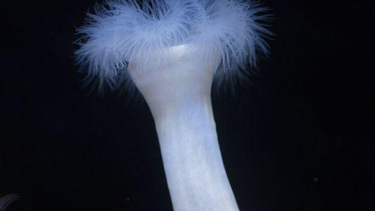 As anémonas-do-mar por vezes comem... formigas. Porquê?