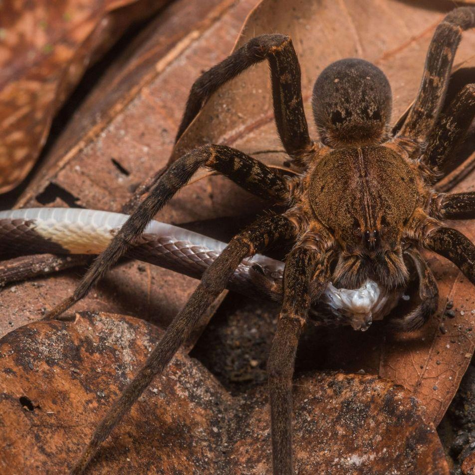 As aranhas comem cobras pelo mundo inteiro, revela estudo surpreendente