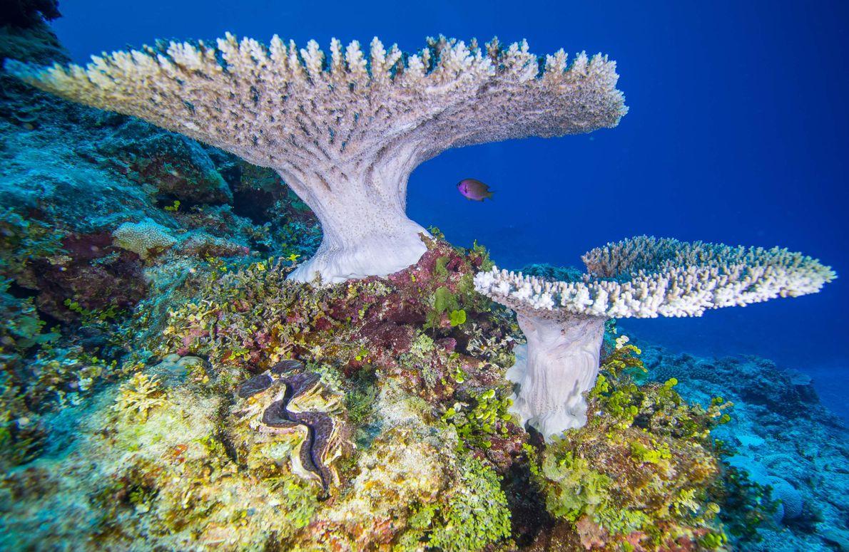 Coral floresce no recife da ilha de Niue