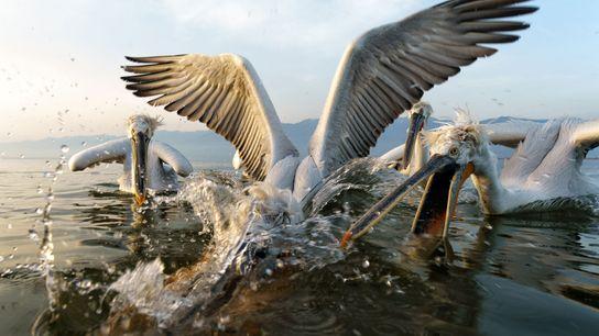 Pelicanos entram em disputa na Grécia.