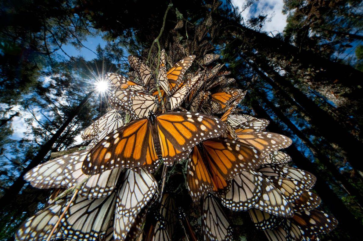 Milhões de borboletas-monarca migram para sul