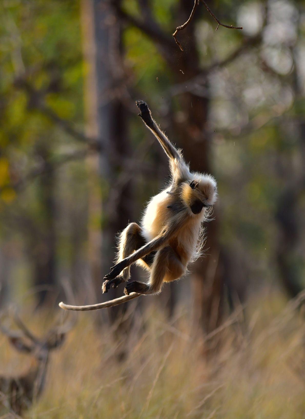 langur salta de um ramo de uma árvore em Madhya Pradesh, na Índia