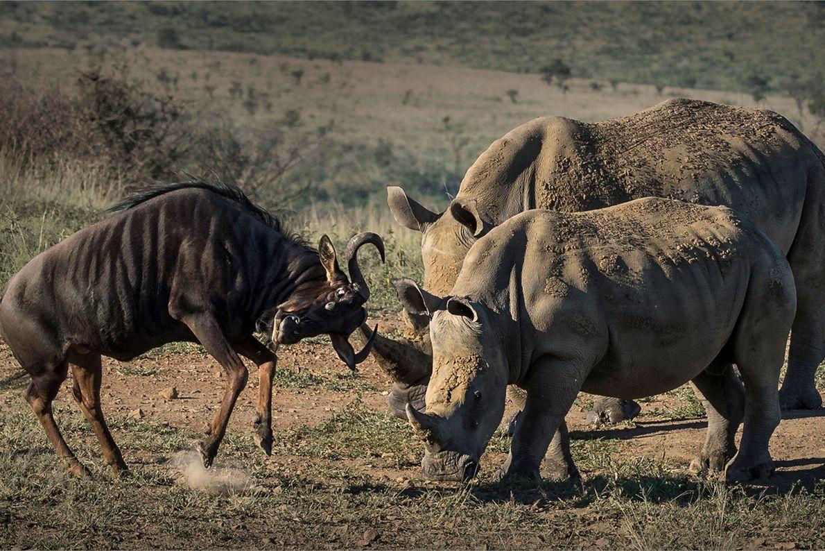 Rinocerontes-negros enfrentam um gnu-de-cauda-preta.
