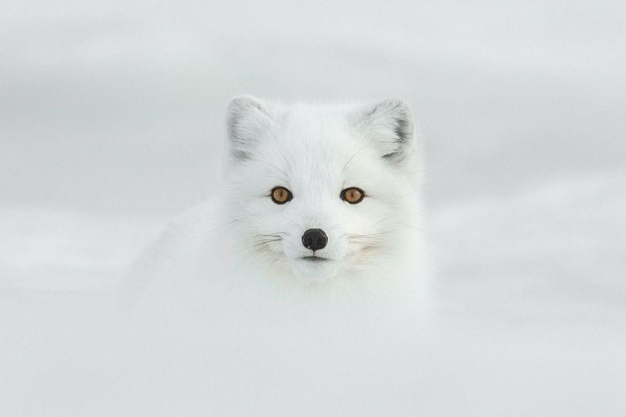 Uma raposa-do-Ártico.