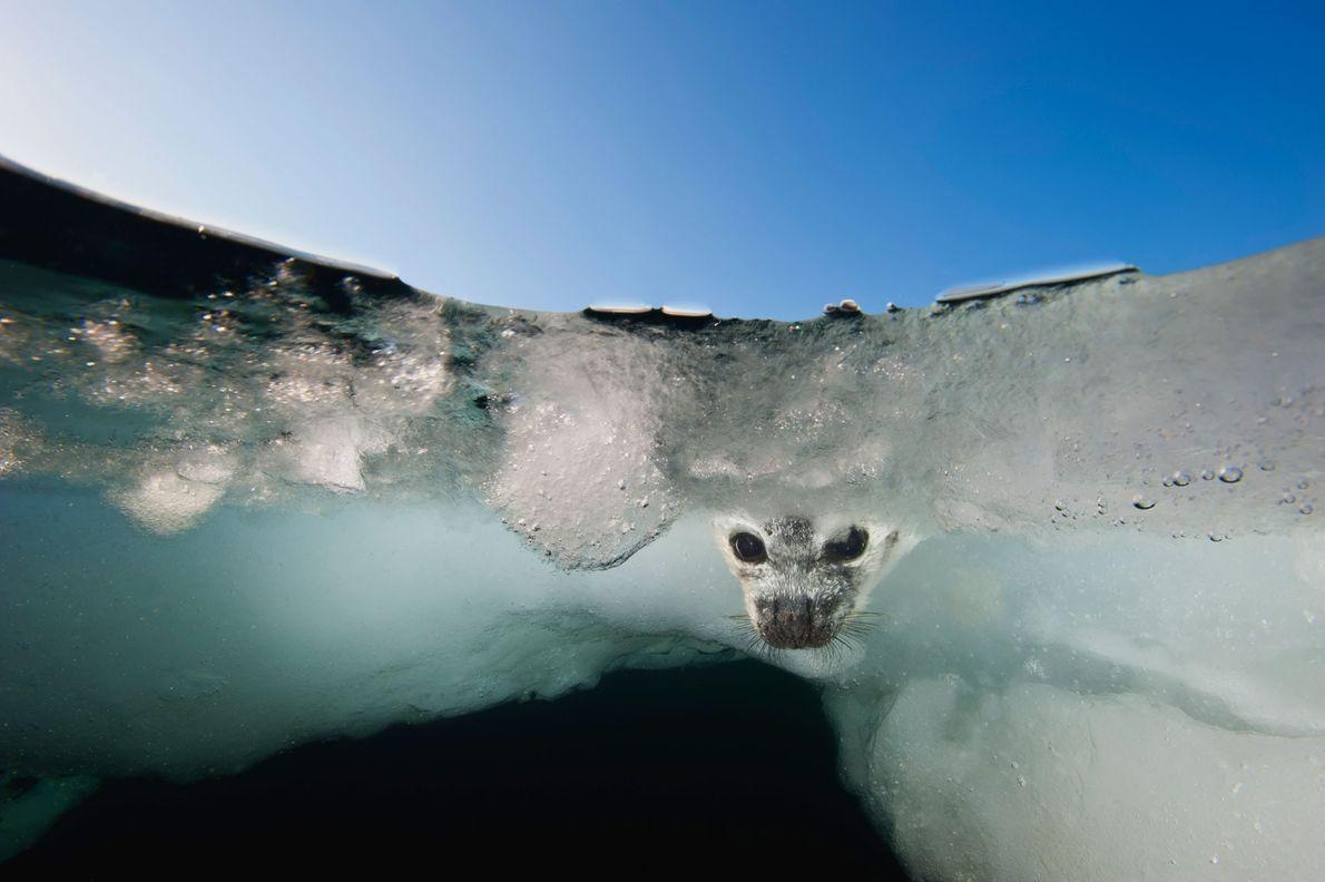 No Golfo de São Lourenço, no Canadá, uma cria de foca-harpa observa a sua mãe a ...