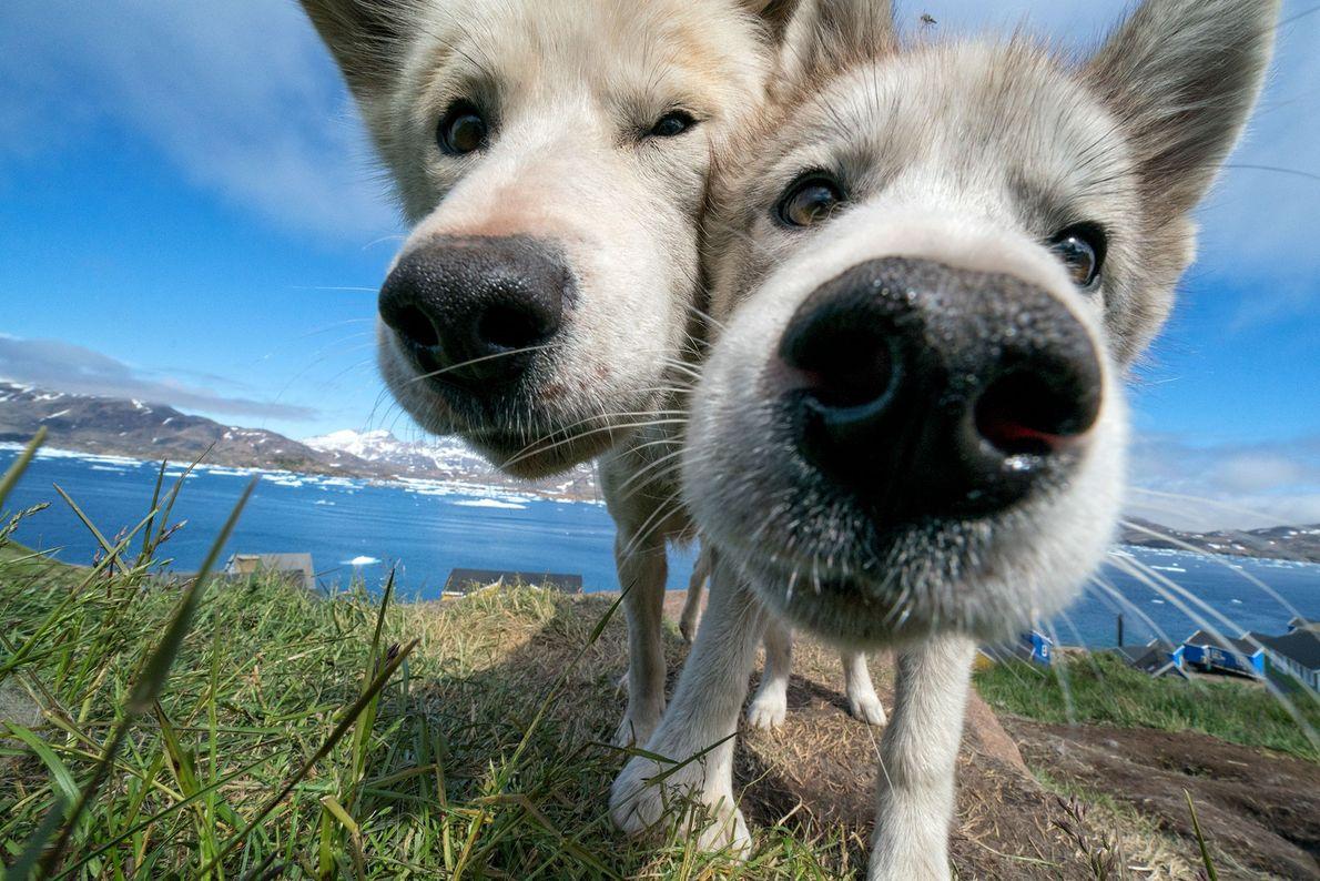 Cães de trenó desfrutam de uma pausa no calor do verão, em Tasiilaq, na Gronelândia.